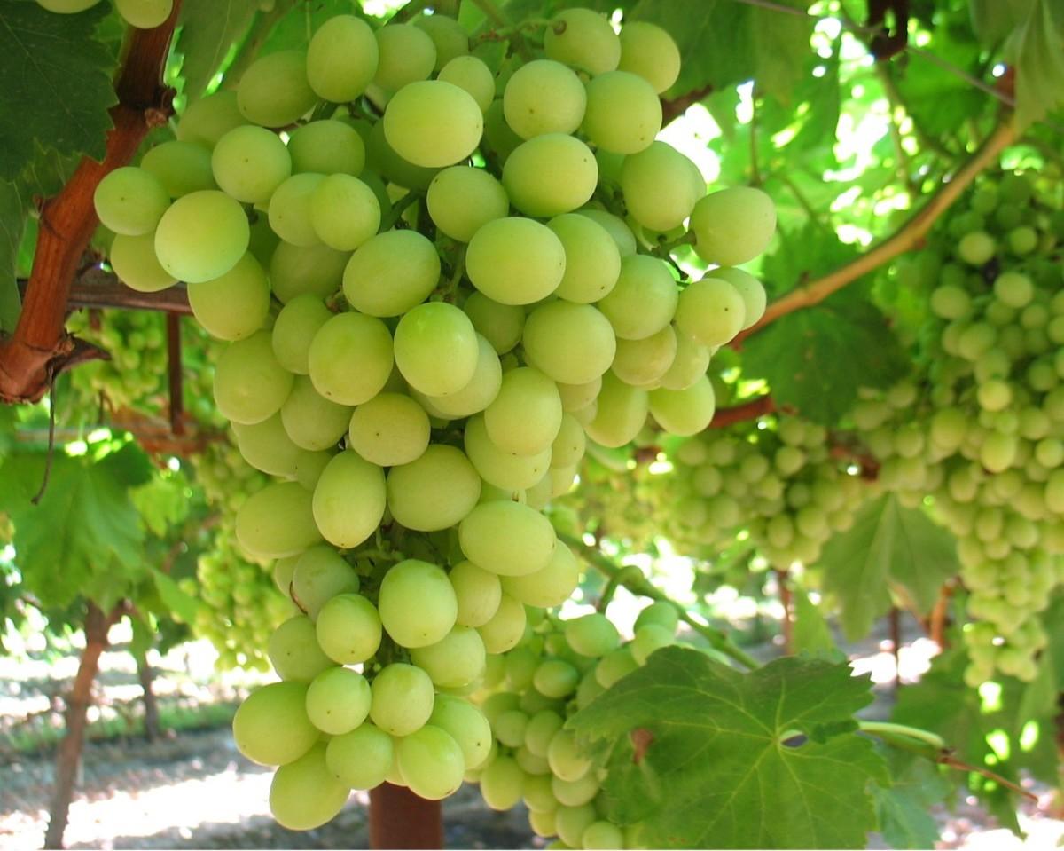La uva seedles sin semilla empieza a ser cultivada en piura - Variedades de uva de mesa ...