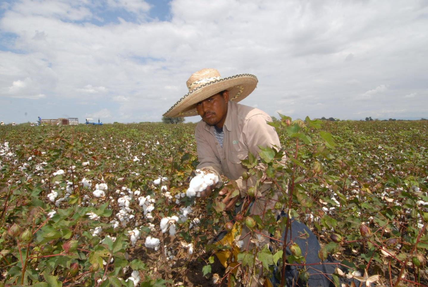 Los agricultores no ven rentabilidad porque el costo de producción del cultivo es muy elevado y tienen muy pocos incentivos. Foto: RPP