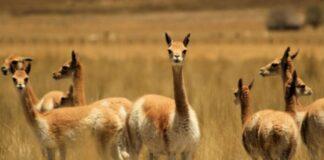 Conoce por qué la vicuña simboliza la riqueza animal en el Escudo Patrio