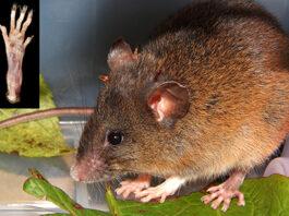 Piura: biólogos peruanos descubren nueva especie de roedor en Huancabamba